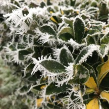 hoar-frost-bush